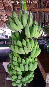 Musa - Banana Double Mahoi