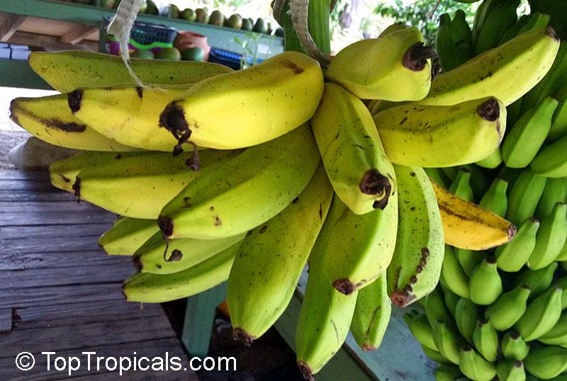 Musa Banana Dwarf Cavendish Click To See Full Size Image