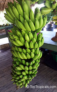 Musa - Banana Pisang Ceylon (improved Mysore)