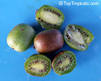 Actinidia arguta - Hardy Kiwi Kens Red, Low chill