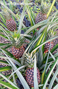 Ananas comosus - edible Pineapple Royal Hawaiian (Royale)
