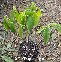 Diospyros decandra, Gold Apple