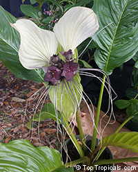 Tacca nivea, Tacca integrifolia, Bat Head Lily, Bat Flower, Devil Flower, White Tacca  Click to see full-size image