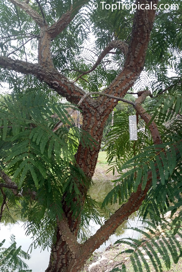 Seeds from Bolivia ꝿ anadenanthera peregrina ꝿ Calcium Tree ꝿ Angico ꝿ Cohoba