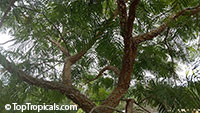 Anadenanthera colubrina, Vilca, Huilco, Huilca, Wilco, Willka, Cebil, Angico  Click to see full-size image