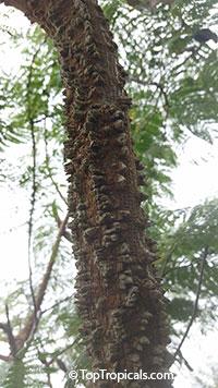 Anadenanthera peregrina, Yopo, Jopo, Cohoba, Parica, Calcium Tree  Click to see full-size image