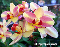Spathoglottis Tropical Punch - Ground Orchid  Click to see full-size image