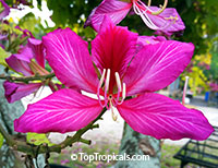 Bauhinia blakeana, Hong Kong Orchid Tree