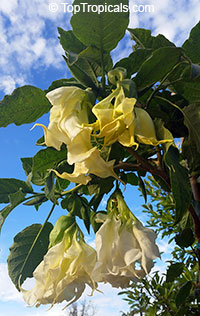 Brugmansia Shredded White Handkerchief - Angel Trumpet  Click to see full-size image