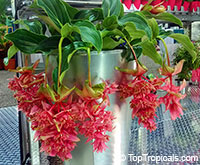 Medinilla magnifica - Showy Melastome Royal Intenz  Click to see full-size image
