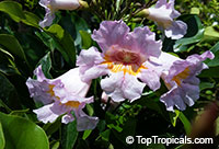Radermachera gigantea Elmeri - Tree Jasmine  Click to see full-size image