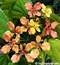 Bauhinia bidentata - Orange Orchid VineClick to see full-size image