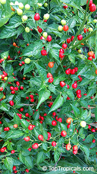 Capsicum frutescens, Wiri Wiri Pepper - seeds  Click to see full-size image