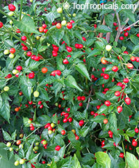 Capsicum frutescens, Wiri Wiri Pepper  Click to see full-size image