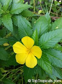 Turnera ulmifolia, Turnera angustifolia, Yellow Alder, Sundrops, DamianaClick to see full-size image