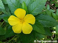 Turnera ulmifolia, Turnera angustifolia, Yellow Alder, Sundrops, Damiana  Click to see full-size image
