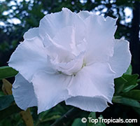 Adenium White Princess, Grafted  Click to see full-size image