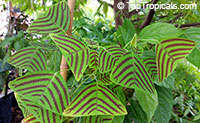 Christia obcordata, Christia subcordata, Lourea obcordata, Butterfly Stripe Plant, Swallowtail, Iron Butterfly, CordataClick to see full-size image