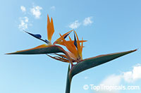 Strelitzia reginae - Orange Bird of Paradise  Click to see full-size image