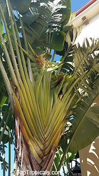 Ravenala madagascariensis, Travellers palm
