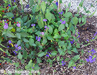 Eranthemum wattii, Blue Eyes, Blue Sage  Click to see full-size image
