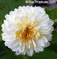 Montanoa bipinnatifida, Tree Chrysanthemum, Pom Pom Tree  Click to see full-size image