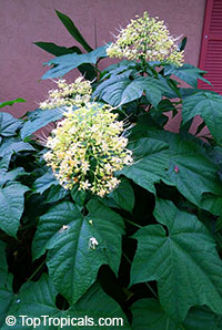 Clerodendrum paniculatum Alba - Yellow Pagoda Flower  Click to see full-size image