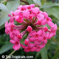 Rondeletia leucophylla - Panama Rose  Click to see full-size image