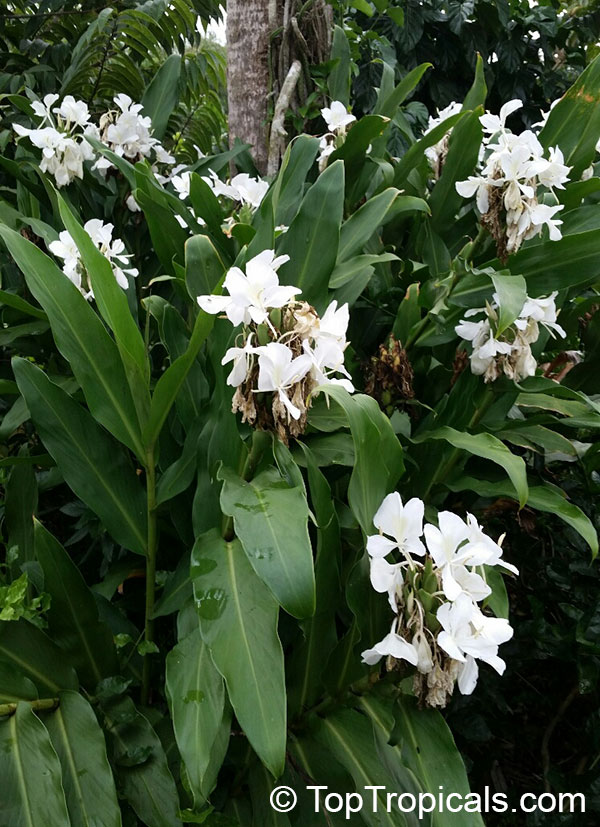 Hedychium Coronarium White Ginger Butterfly Ginger Lily