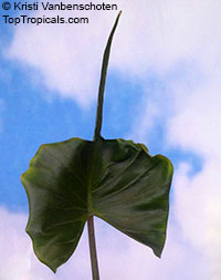 Alocasia Stingray, Elephant Ear 'Stingray'  Click to see full-size image
