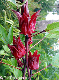 Hibiscus sabdariffa, Karkade, Red sorrel, Red tea, Roselle, Flor de Jamaica, Rosa de Jamaica  Click to see full-size image