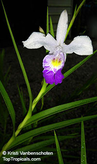 Arundina graminifolia, Arundina affinis, Bletia graminifolia, Bamboo Orchid, Bird OrchidClick to see full-size image