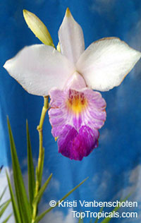 Arundina graminifolia - Bamboo Orchid, Bird Orchid  Click to see full-size image