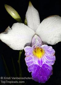 Arundina graminifolia, Arundina affinis, Bletia graminifolia, Bamboo Orchid, Bird Orchid  Click to see full-size image