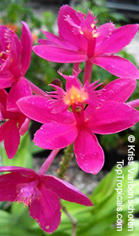 Epidendrum radicans Fuchsia - Pink Reed Ground Orchid, Violet Queen  Click to see full-size image
