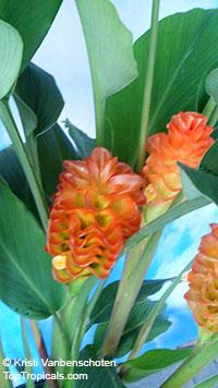 Curcuma roscoeana, Curcuma kurzii, Curcuma coccinea, jewel of Burma, Orange Ginger, Orange Siam Tulip  Click to see full-size image