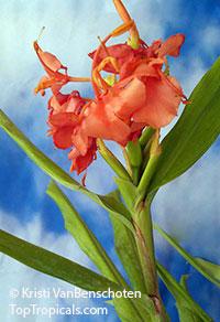 Hedychium 'Elizabeth', Elizabeth Ginger Lily  Click to see full-size image