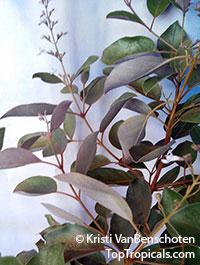 Vitex trifolia purpurea - Purple Arabian LilacClick to see full-size image