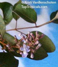 Vitex trifolia Purpurea, Arabian LilacClick to see full-size image