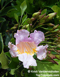 Radermachera gigantea, Radermachera elmeri, Radermachera Elmeri  Click to see full-size image