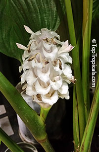 Calathea burle-marxii, Ice Blue Calathea  Click to see full-size image