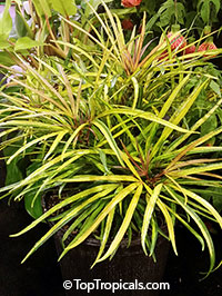 Osmoxylon lineare (variegated)  Click to see full-size image
