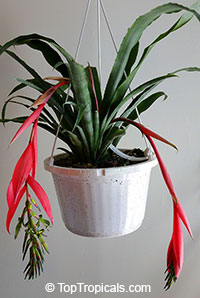 Billbergia Nutans - Bromeliad Queen of Tears, Friendship Plant