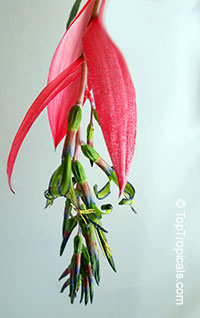Billbergia nutans, Billbergia linearifolia, Billbergia minuta, Bromeliad Queen of Tears, Friendship Plant  Click to see full-size image