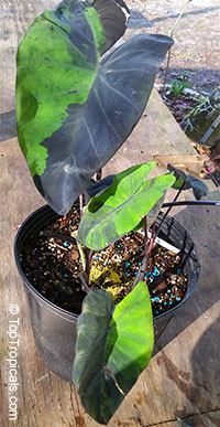 Colocasia esculenta , Black colocasia, Black Magic, Taro, Black Elephant Ear, Malanga Amarillo, Dasheen  Click to see full-size image
