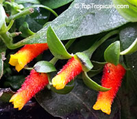 Manettia luteorubra - Firecracker, Candy Corn Vine