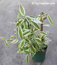 Vanilla planifolia, Vanilla fragrans, Madagascar Bourbon Vanilla Bean, French Vanilla, Vanilla OrchidClick to see full-size image