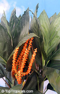 Chamaedorea metallica, Parlor Palm, Miniature Fishtail Palm  Click to see full-size image