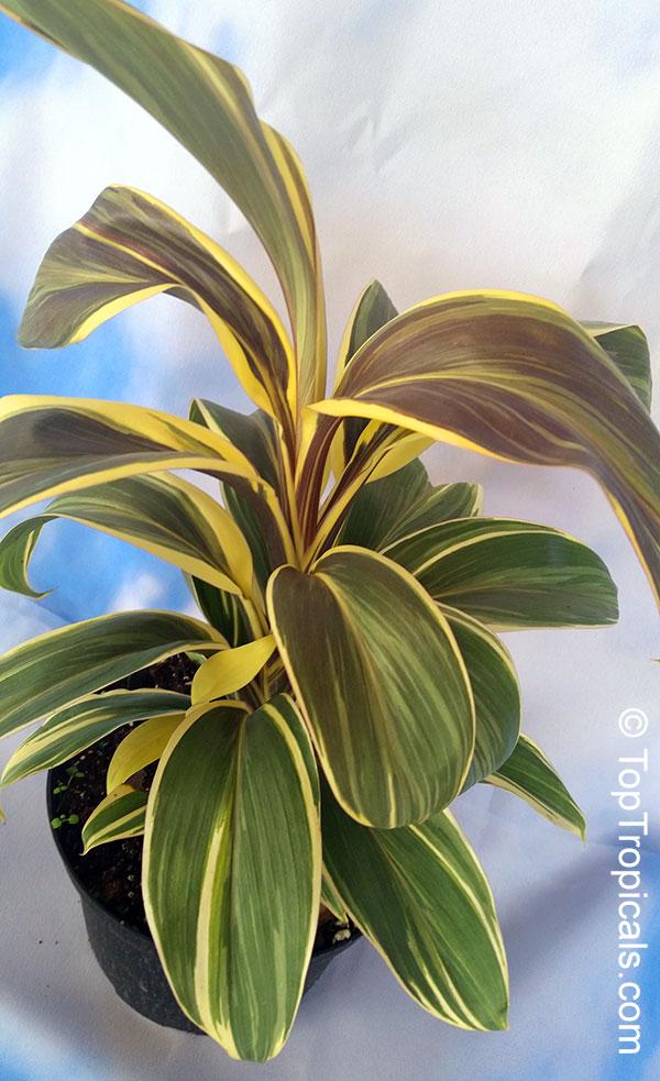 Cordyline Fruticosa Cordyline Terminalis Hawaiian Ti
