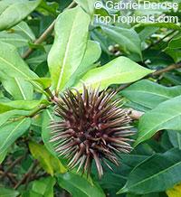 Allamanda cathartica, Allamanda nerifolia, Golden Trumpet ShrubClick to see full-size image